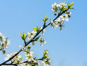 Flowering plum branch against the blue sky